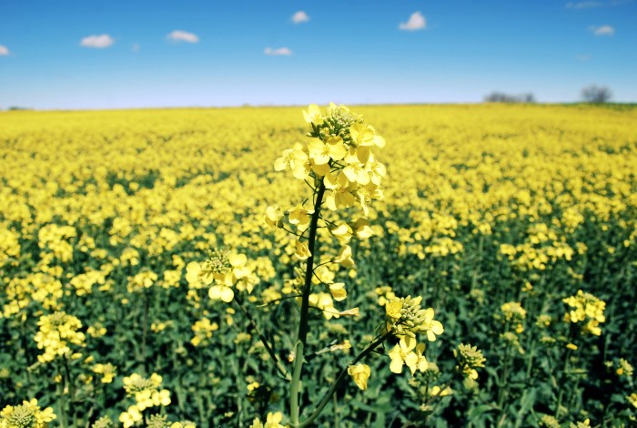 5. A stunning field of yellow flowers and a blue sky show one of the many tranquil spots in nature in the Sooner State.