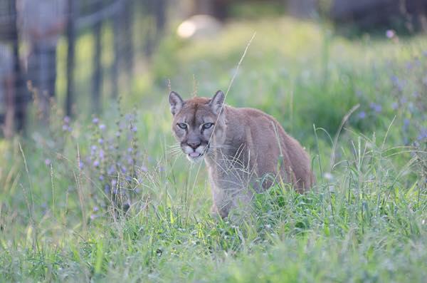 12. Visit Turpentine Creek Wildlife Refuge