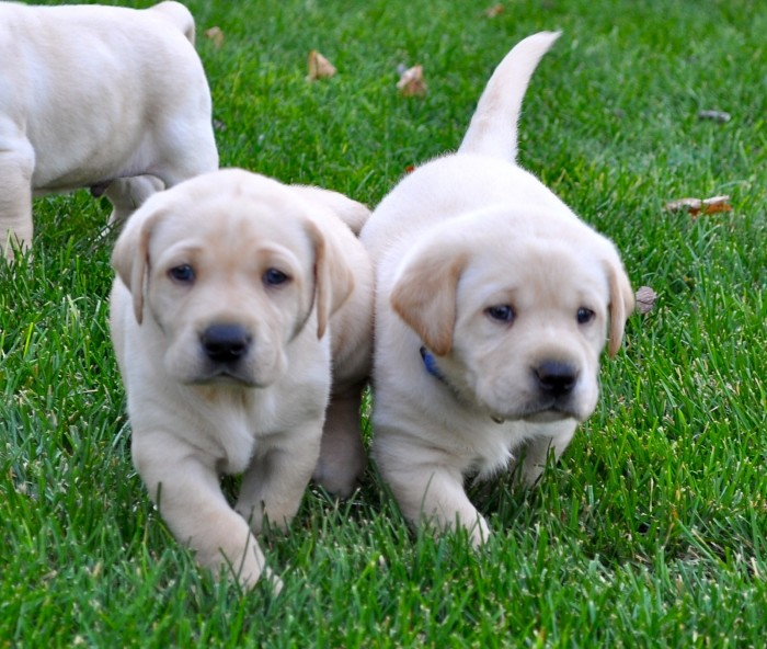 7. What's the difference between puppies and Illinois sports fans?