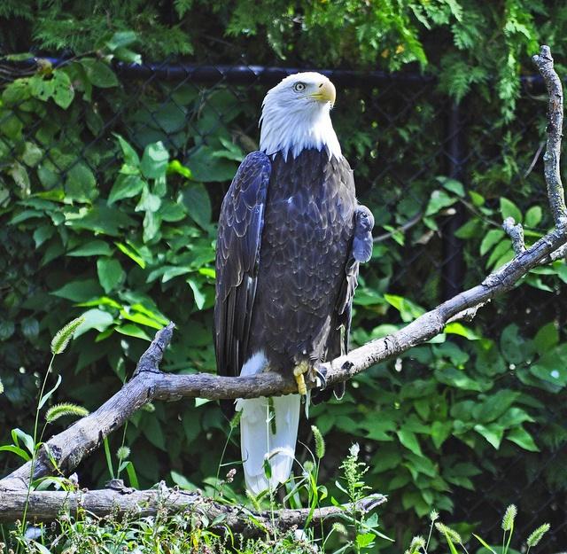 9. Bald Eagles