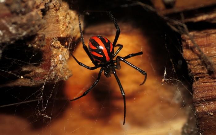 2. Black widow spiders