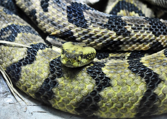 4. Timber rattlers