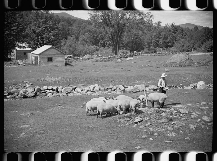 1.   Vermont farmer and sheep near North Troy.