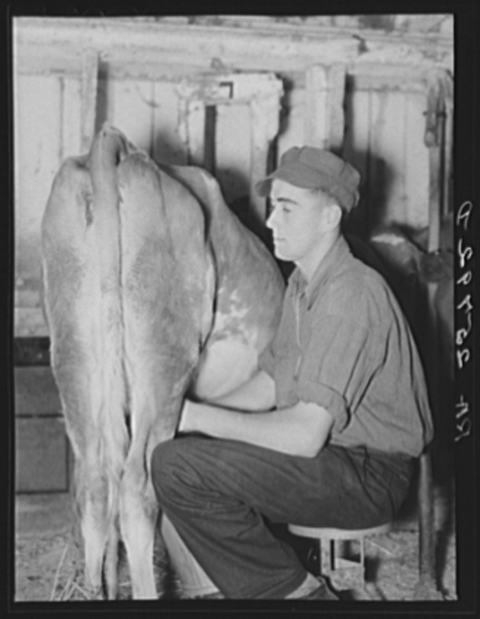 7.  Hired hand milking. McNally farm, Kirby, Vermont.