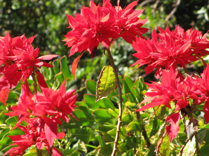 10) Poinsettias can grow as tall as trees in Hawaii, and they bloom near December 25.