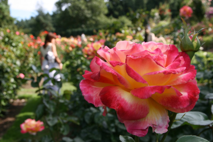 5. International Rose Test Garden in Portland features more than 500 varieties of roses.