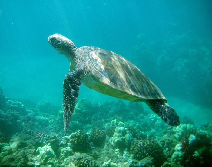 11) Green sea turtle.