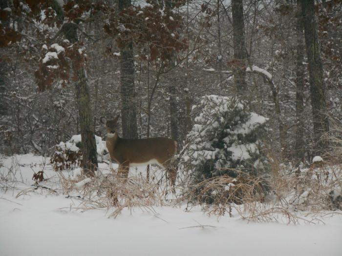 11.Deer in the snow, Ellsinore