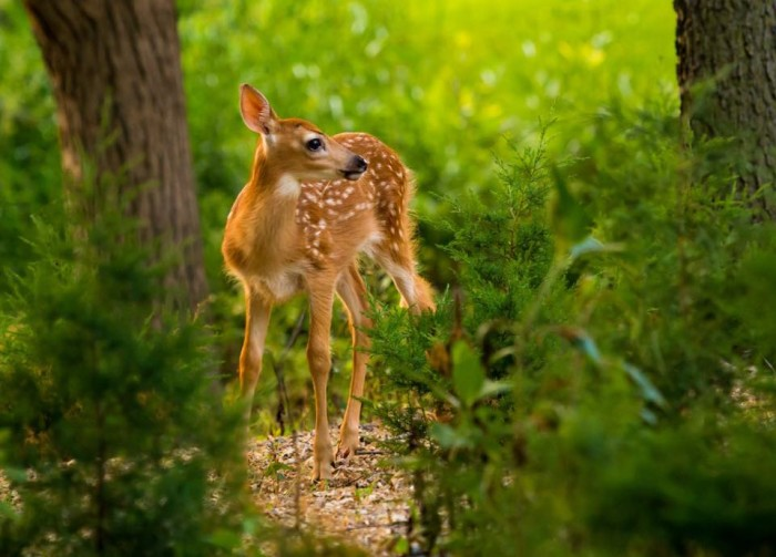 1. In June, Shawn Einerson captured a beautiful three-week-old fawn in Rochester.