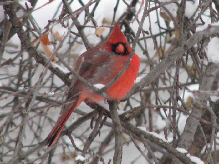 22. This cardinal looks fat and prepared for the winter.