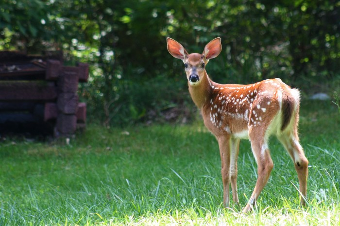 18. A Maine wild deer spending some time in a backyard.