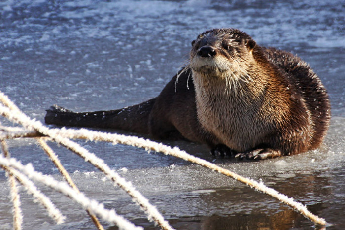 7. This river otter was photographed at the Moosehorn National Wildlife Refuge near Calais.