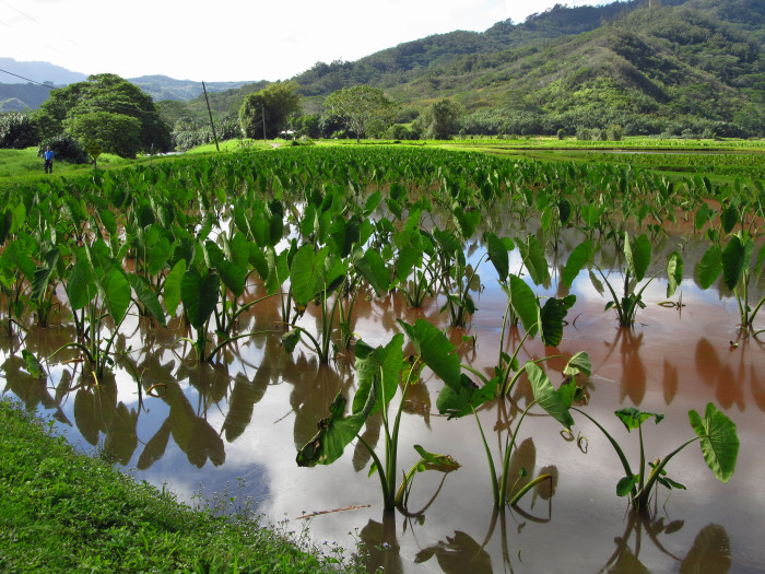 The picturesque town is also home to much of Hawaii's taro production, and is a National Wildlife Refuge for endangered waterbird species, including the koloa (Hawaiian duck), and the 'alae 'ula (moorhen).