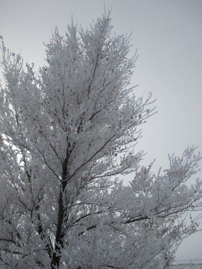 15. The upper branches of this frozen tree don't seem burdened by the snow and ice.