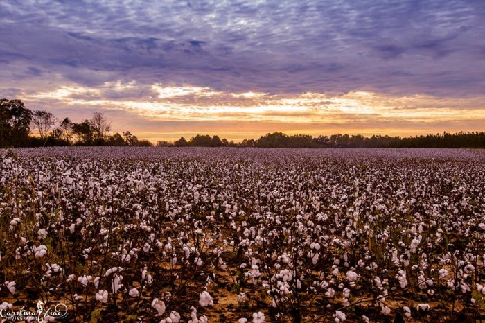 5. Cotton Fields near George L. Smith State Park by Carolina Xiao Photography