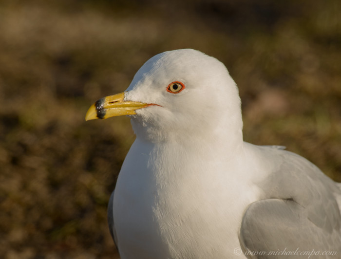 19. This ring-billed gull is patiently waiting for...something.
