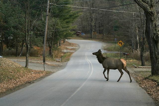 10. Lastly, Pennsylvania is home to the largest free-roaming elk population in the entire country. Santa might recruit his new Rudolf here...