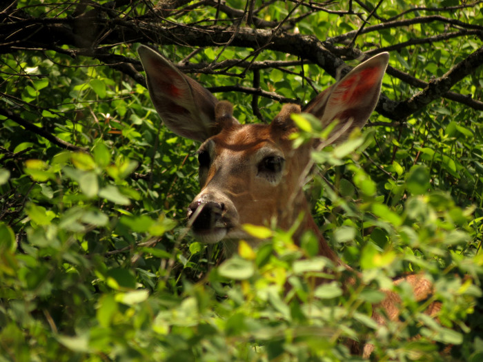 4. Minnesota has over 3 times more white-tailed deer than college students.