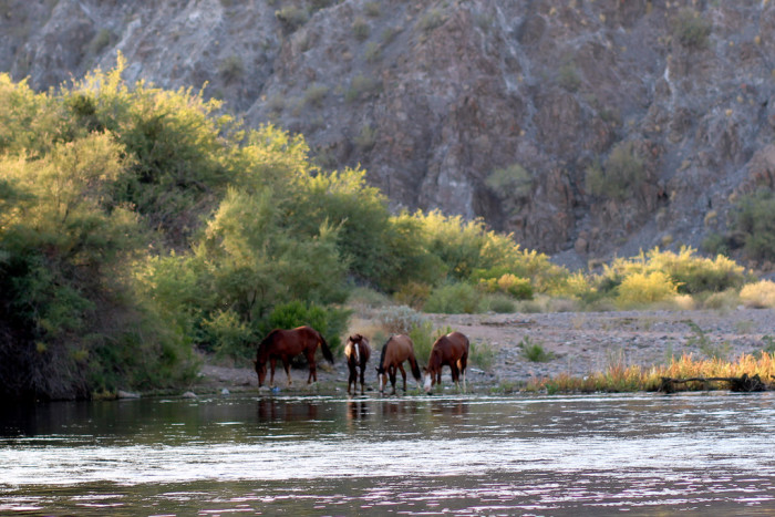 7. The U.S. Forest Service announced that the wild Salt River horses would not be removed.