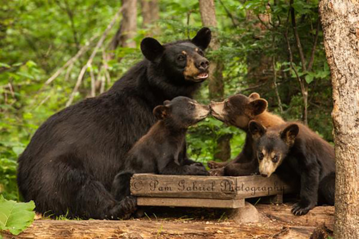 3. Pam Kipper Gabriel took this amazing shot of a mama bear and her cubs at the  Vince Shute Wildlife Sanctuary in Orr.