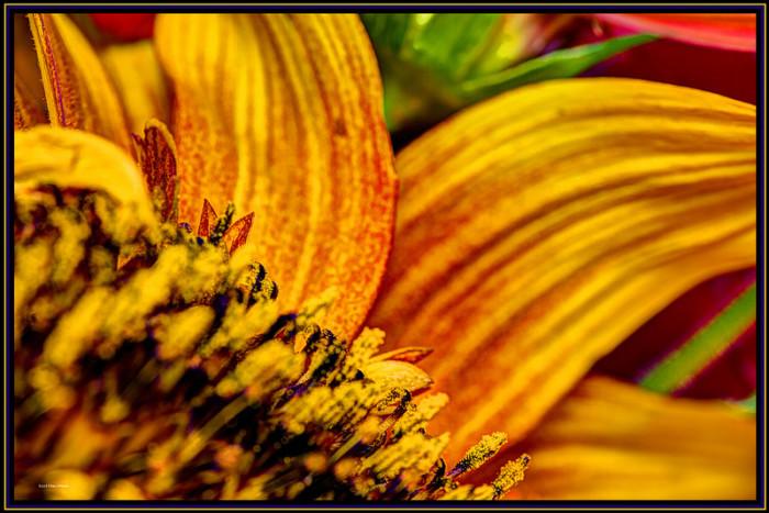 16.Sunflower in Burlington.