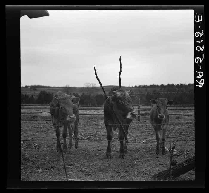 16. These cows were owned by C.N. Morgan who lived on the Maverick Estate in Pendleton, SC. 1937.