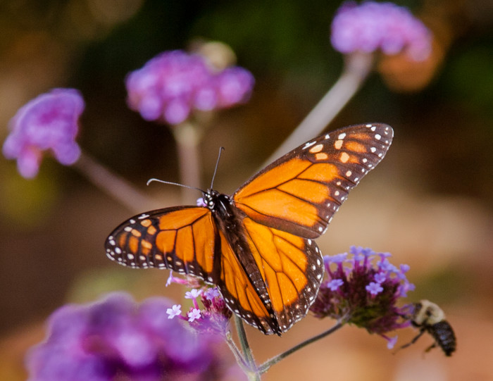 5. A beautiful Monarch on Mt. Desert Island at Thuya Gardens in Northeast Harbor.