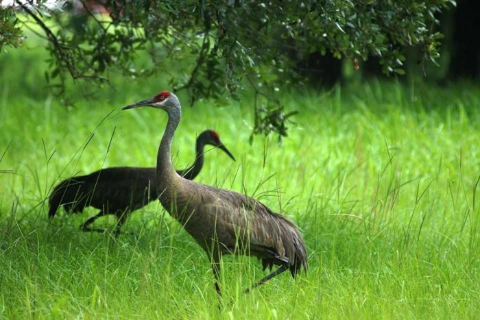 16. The rarest North American crane lives in Mississippi.