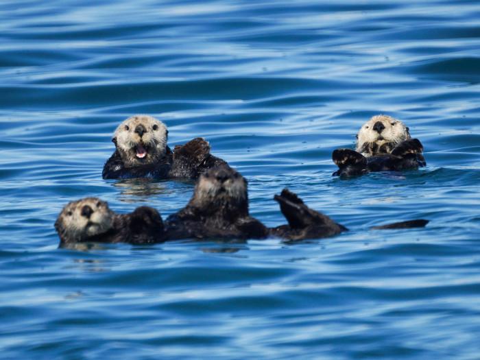 7) Playful Sea Otters.