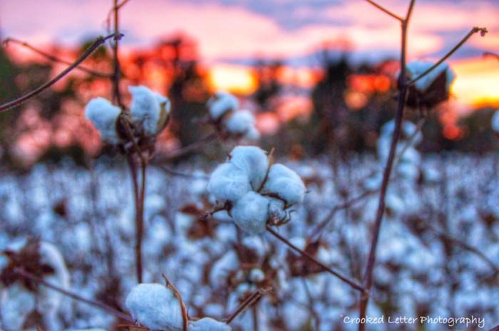 2. Vast Cotton Fields