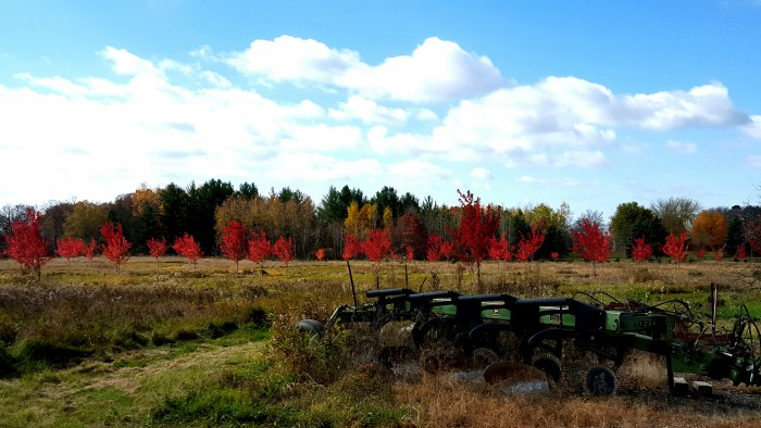12. In October, Linda Thomas  captured this amazing shot of the 200 Autumn blaze maple planted at her farm in Milaca.