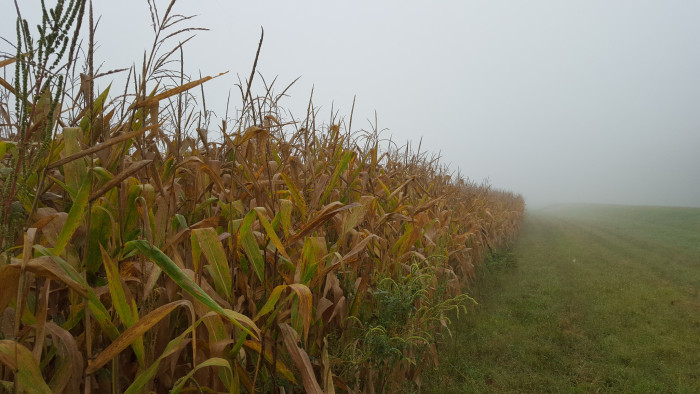 9. Colorless corn in Lawrence.