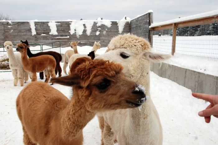 15. And, almost lastly, alpacas!