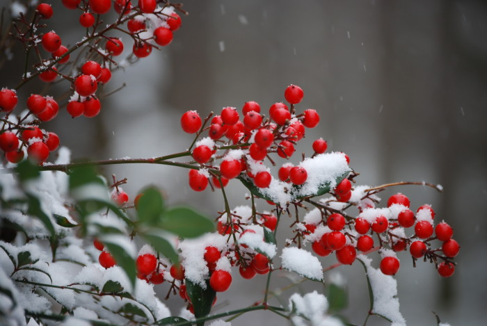 5. These red berries' pop of color is so beautiful against the light dusting of snow.