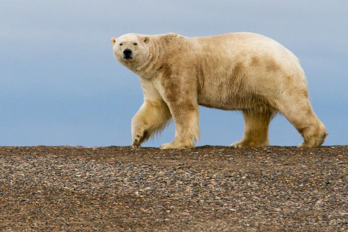 2) A polar bear making his rounds in Kaktovik.
