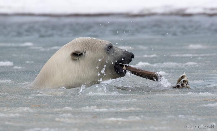 3) A playful polar bear in the Arctic!
