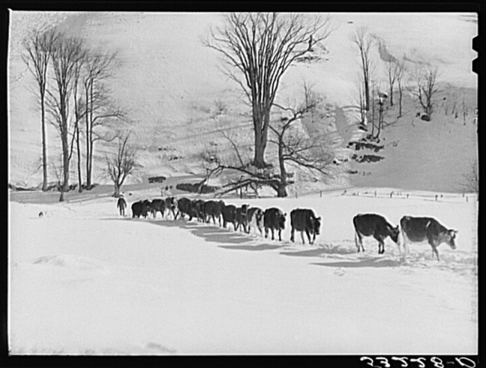 19.  Farmer's son and dog driving the cows back to the barn after watering them at the brook. All other sources of water supply were frozen for two months during very severe winter. Clinton Gilbert's farm. Woodstock, Vermont.