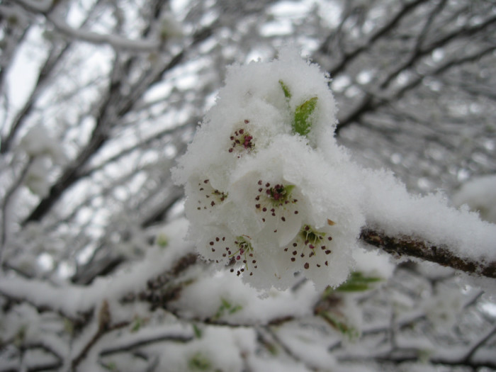 2) This snow-covered pear blossom is perfectly picturesque. (Denton)