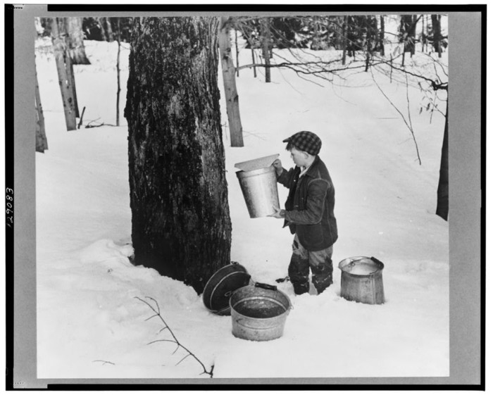 20.  Young son of Frank H. Shurtleff gathering sap from sugar trees for making maple syrup.