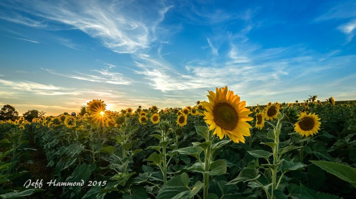 24. Sunflower fields in bloom in Botetourt County.