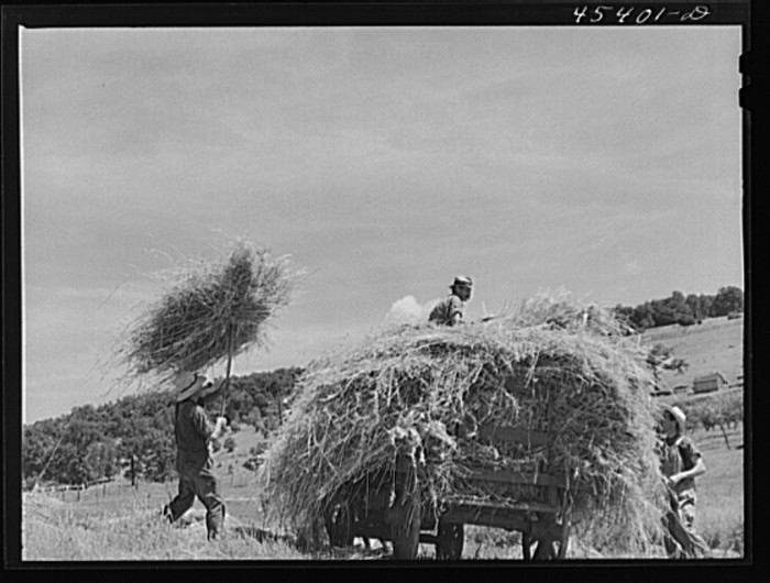 24.  Loading hay on a dairy farm near Brandon, Vermont.