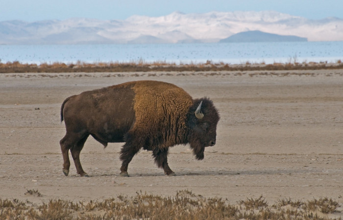 2. Utahns round up bison every November.
