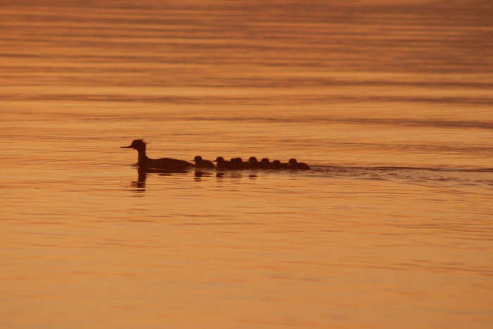 9. Peaceful loons heading home for some family time at Moosehead Lake in Big Squaw.
