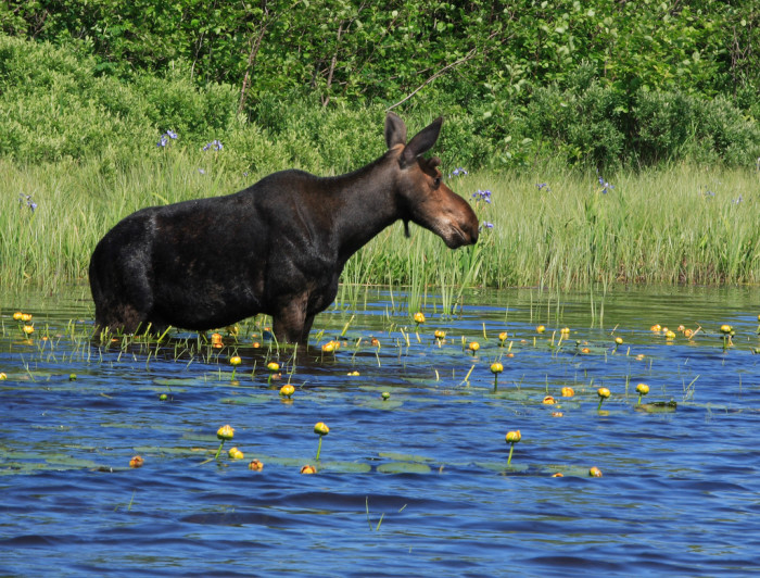7) Try to spot a moose on Isle Royale.