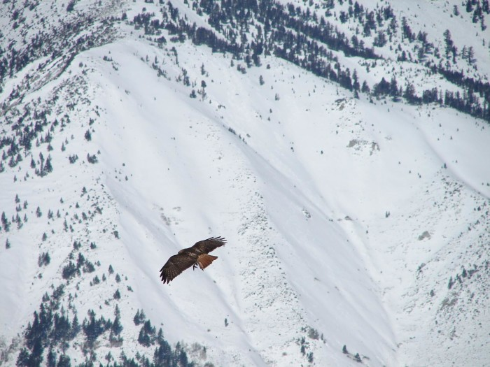 5. Here in Washoe Valley, this hawk can't help but stare at the beautiful snow beneath him.