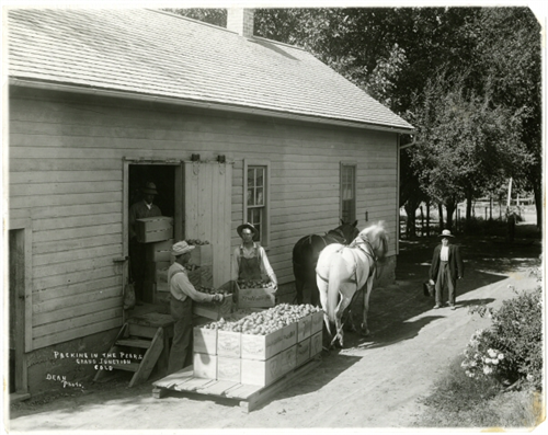 "8. ""Packing in the pears, Grand Junction, Colo."""