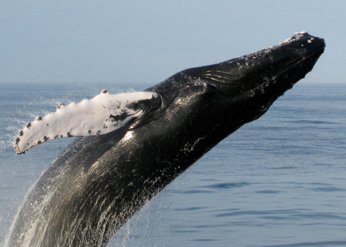 8. A whale breaching off the coast of Bar Harbor.