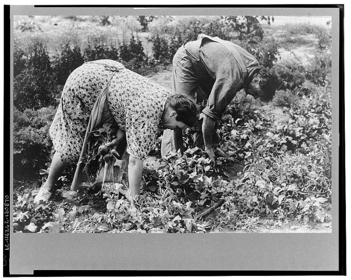 """12. """"Mr. and Mrs. Schoenfeldt pulling beets from their tile garden, Sheridan County, Kansas. Tile gardens are a part of the FSA (Farm Security Administration) program in the former dust bowl."""""""