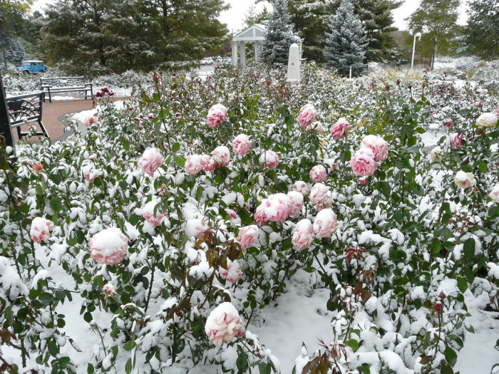 16. Snow fell on the Hamann Rose Garden in Lincoln before the roses were ready.