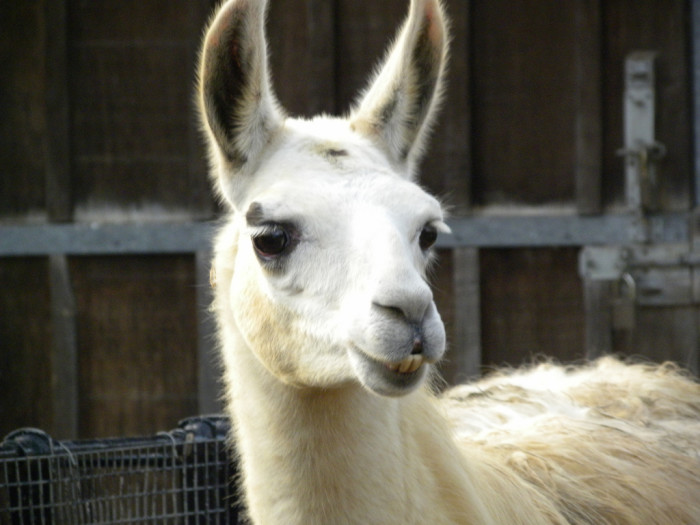 1. In February, a couple of llamas decided to escape their captors by running through the streets of Peoria.